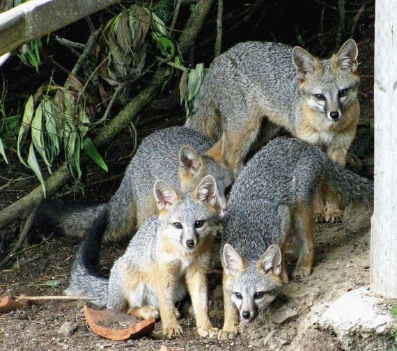 Four Gray Foxes. WildCare photo by Linda Campbell