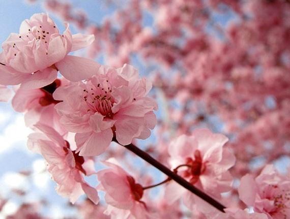 2014-03-12-Huffcherry_blossom_.jpg