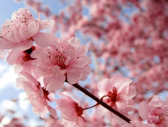 Pretty in pink it 39 s cherry blossom time in japan huffpost Japanese cherry blossom tree