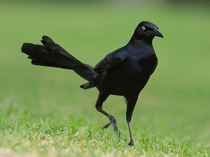 2014-03-12-great_tailed_grackle_3.jpg