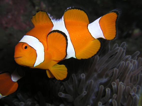 2014-03-15-Amphiprion_ocellaris_Clown_anemonefish_Nemo.jpg