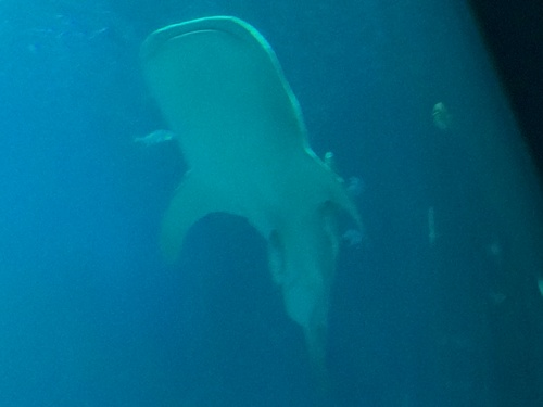 2014-03-15-whaleshark.JPG