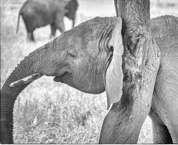 2014-04-09-elephantrubbingagainsttreesmilingsepiaTarangire2752copy.jpg