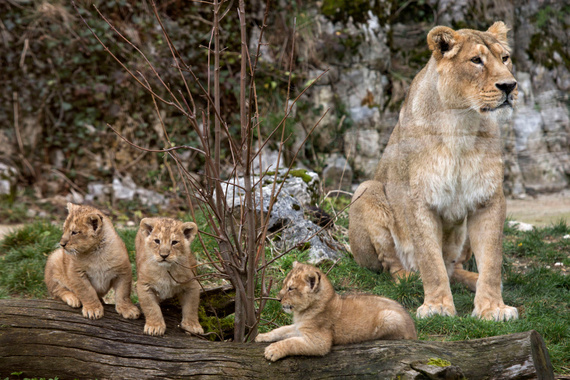 2014-04-15-Lioncubszoo.jpg