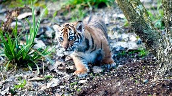 2014-04-15-TigercubZSL.jpg