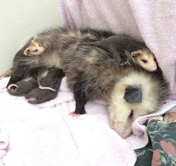 Mother opossum and her nine babies in WildCare's Wildlife Hospital. Photo by Kate Lynch
