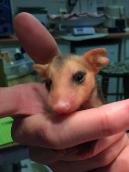 Baby opossum being weighed at WildCare. Photo by Alison Hermance