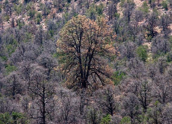 2014-04-18-BarkbeetlekilledforestsEarthDrReeseHalter