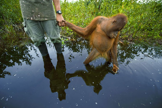 2014-04-19-OrangutangBorneoEarthDrReeseHalter