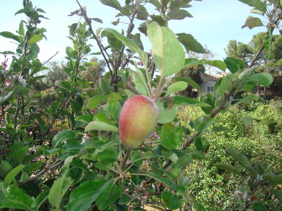 2014-04-21-AppleTreeEarthDrReeseHalter.JPG