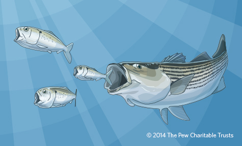 A striped bass chasing some menhaden