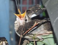 Fledgling Mockingbird being fed. Photo by Veronica Bowers
