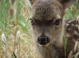 Newborn fawn. WildCare photo by Josie Shaw