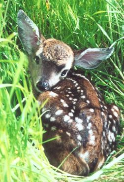 A healthy fawn stays still and quiet in the grass.