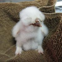 Orphaned baby Screech Owl at WildCare. Photo by Alison Hermance
