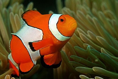 2014-04-25-ClownfishAndamanCoralReefcreditRitiksviaWikimediaCommonsccr222.jpg