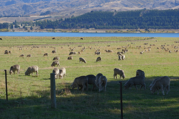 2014-04-25-SheepGrazing.jpg