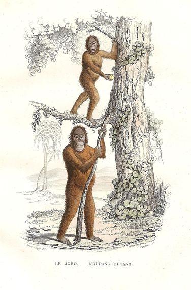 2014-04-26-OrangutanAdamEve_1846.jpg