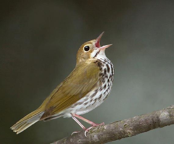 2014-04-30-Fig6ovenbird.jpg
