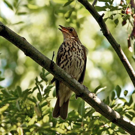 2014-05-02-Song_Thrush_Turdus_philomelos_singing_in_tree.jpg