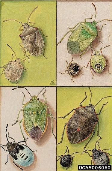 2014-05-04-stinkbug.jpg