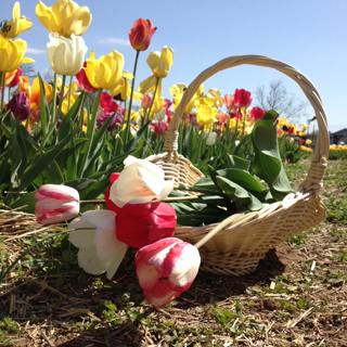 2014-05-05-tulipsburnsidefarms.jpg