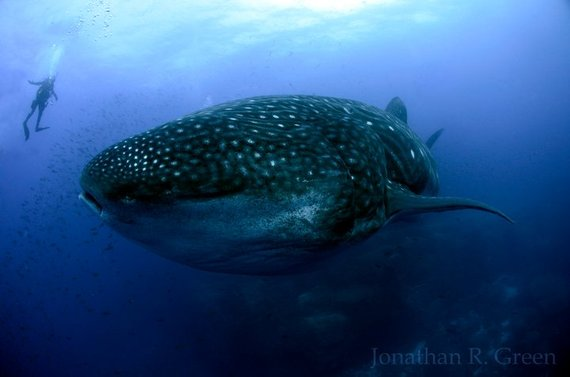 2014-05-12-whaleshark3.jpg