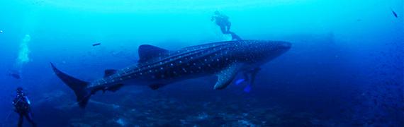 2014-05-12-whalesharkbanner.jpg