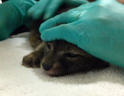 The kit is gently restrained while he is given rehydrating fluids. Photo by Alison Hermance