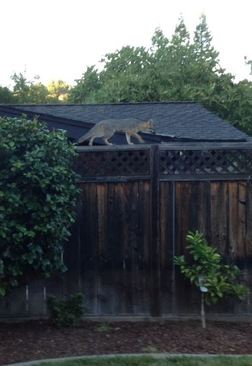 Gray Foxes can climb trees and fences as well as any cat! Photo by April Pierce