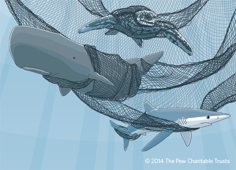 An illustration of a pilot whale, sea turtle, and other animals caught in a gilnet