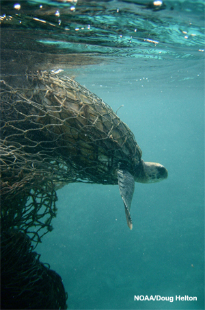 A sea turtle entangled in a ghost net