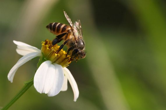 2014-05-21-AustralianhoneybeesEarthDrReeseHalter2
