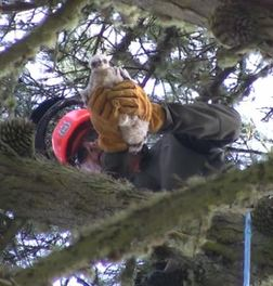 WildCare's volunteer arborist gently places the baby Red-tail in the nest. WildCare photo by Alison Hermance