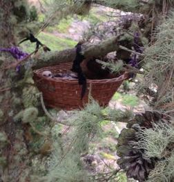 The first baby in his wicker nest. WildCare photo by Jim Cairnes
