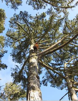 The tree where the nest is located was over 100 feet high. WildCare photo by Alison Hermance