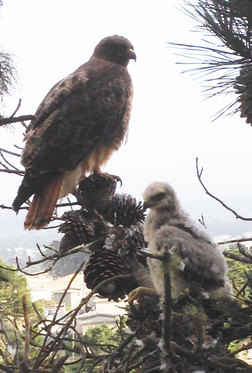 The mother Red-tail and yet another fluffy baby sit less than ten feet from Jim. WildCare photo by Jim Cairnes