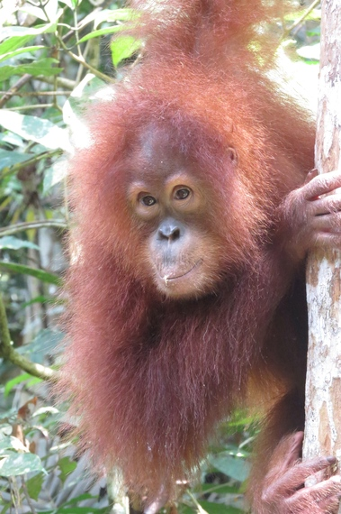 2014-06-01-OrangutanBorneoEarthDrReeseHalter2.jpg