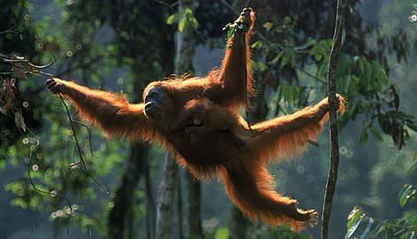 2014-06-01-OrangutanSumatraEarthDrReeseHalter