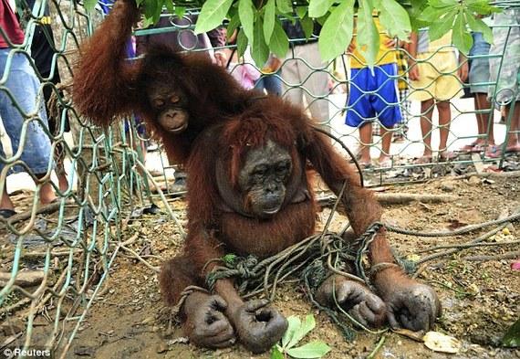 2014-06-01-OrangutansStarvedandChainedfromLoggingEarthDrReeseHalter