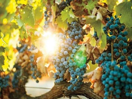 2014-06-02-cn_image.size.grapeshalterranchvineyard.jpg