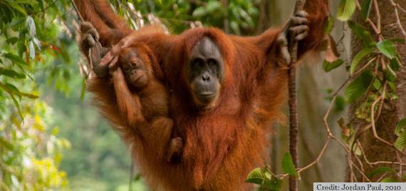 2014-06-03-Orangutan_Jordan1.jpg