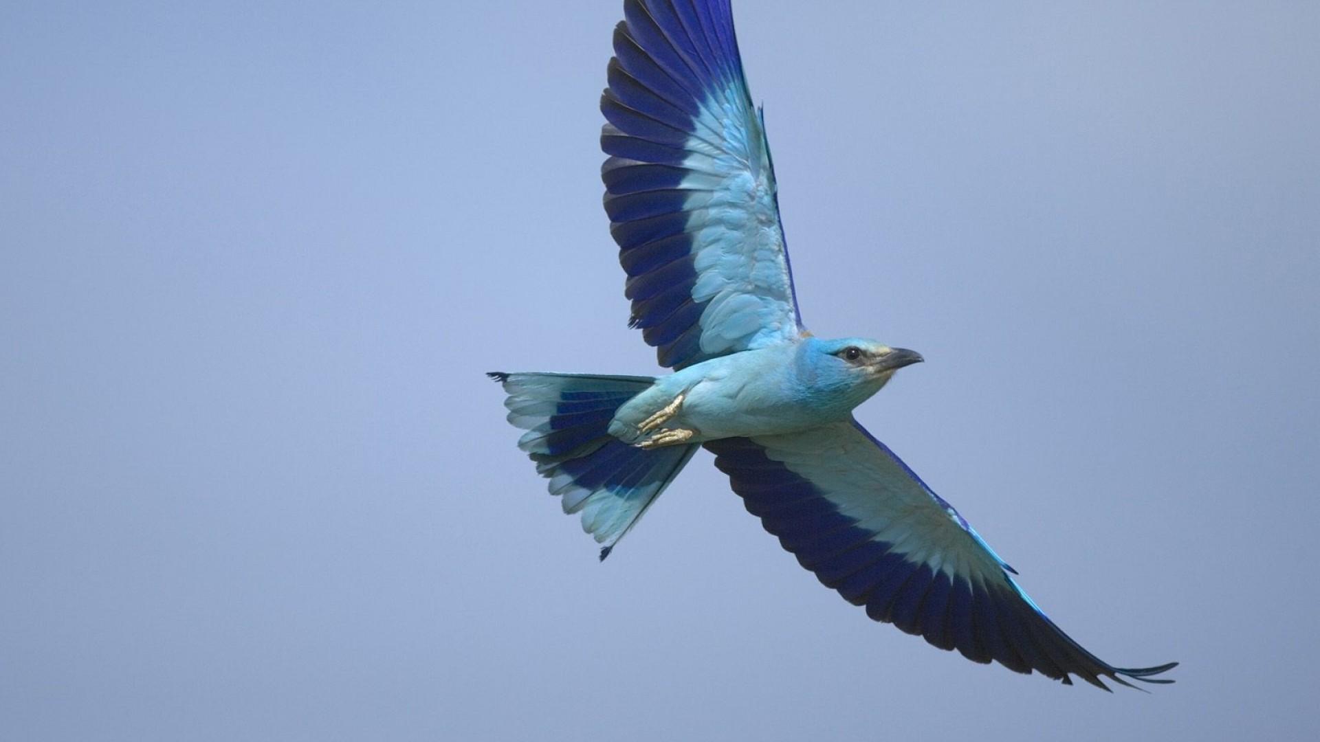 Pin Blue-bird-flying on Pinterest