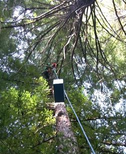 Lifting the box containing the owlet into the tree