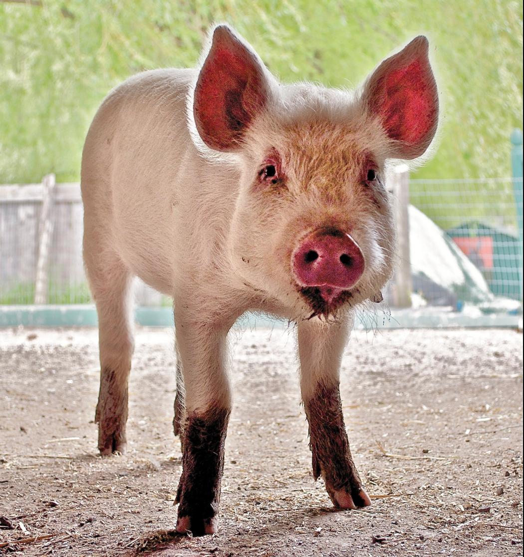 Holy Pig Put Down The Pork Huffpost