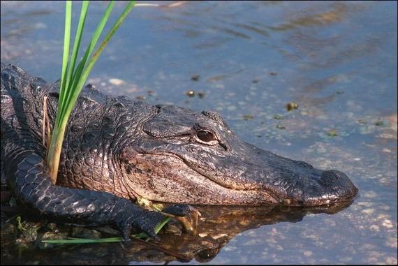 2014-06-06-alligator.jpg