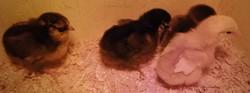 2014-06-10-chicks.jpg