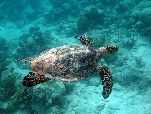 2014-06-17-Turtle_in_the_Marine_Protected_Area_7029059407.Wiki.Commons.jpg