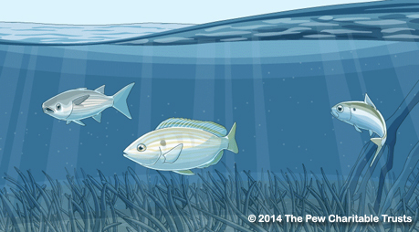 A Pew illustration of fishery habitat