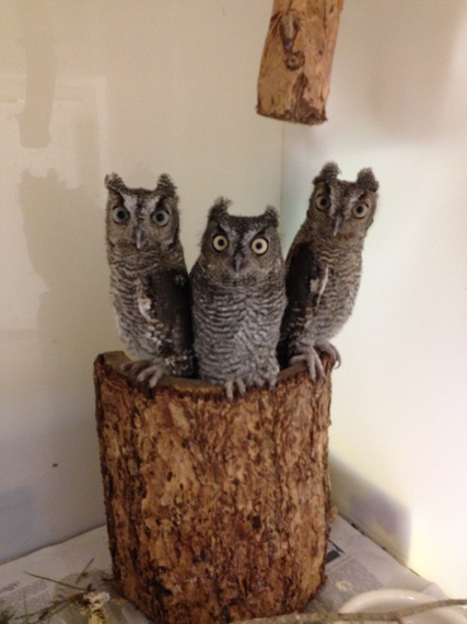 2014-06-26-3screechowls.jpeg